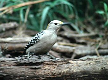 photo of a Golden-fronted Woodpecker