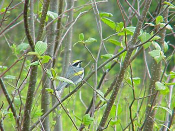 photo of a Golden-winged Warbler