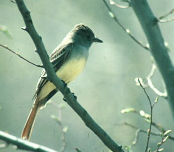 photo of a Great Crested Flycatcher