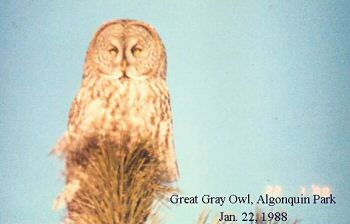 photo of a Great Gray Owl
