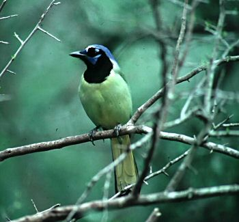 photo of a Green Jay