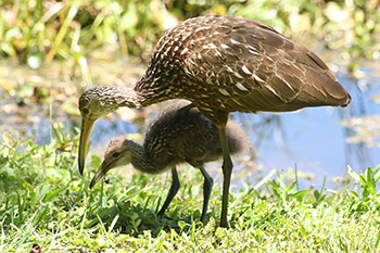 photo of a Limpkin