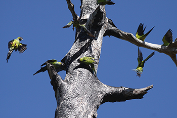 photo of a Nanday Parakeets