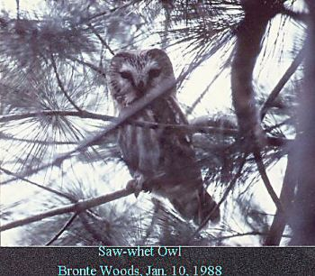 photo of a Saw-whet Owl