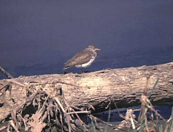 photo of a Spotted Sandpiper
