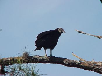 photo of a Black Vulture