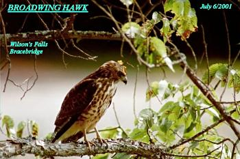 photo of Broad-winged Hawk