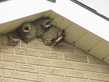 photo of a Cliff Swallow at nest feeding young