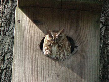 photo of an Eastern Screech-Owl