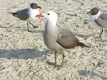 photo of a Heermann's Gull