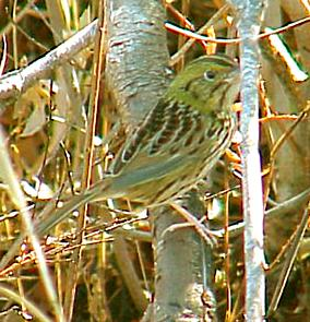 photo of a Henslow's Sparrow