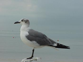 photo of a Laughing Gull