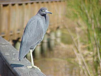 photo of a Little Blue Heron