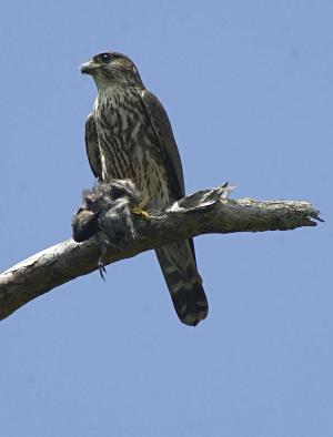 photo of a Merlin having an Eastern Phoebe for lunch