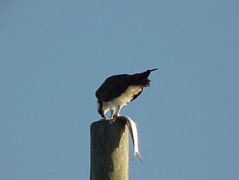 photo of an Osprey having lunch