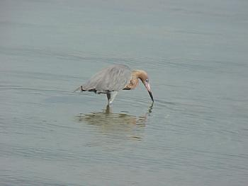 photo of a Reddish Egret