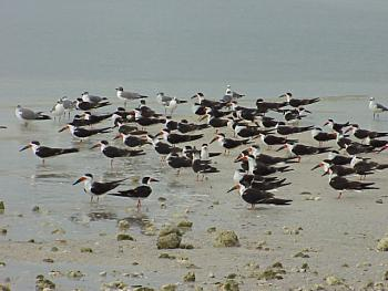 photo of a Black Skimmers