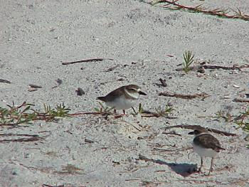 photo of a Wilson's Plover