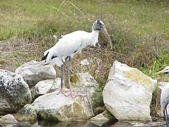 photo of a Woodstork
