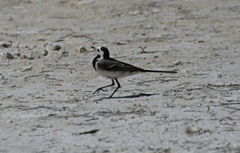 photo of White Wagtail